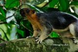 (Ratufa affinis sandakanensis)  Giant Squirrel