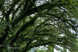 (Albizia saman )Rain Tree