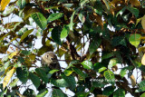 (Sundasciurus jentinki) Jentink's Squirrel