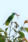 (Psilopogon eximus)*Bornean Barbet