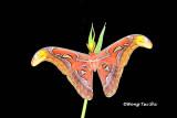 (Attacus atlas) Atlas Moth