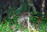 (Tragulus napu) Greater Mouse Deer