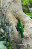 (Psilopogon mystacophanos)Red-throated Barbet ♂