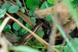 (Dasia olivacea)Olive Tree Skink