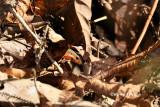 (Mabuya rugifera) Rough-backed Ground Skink