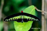 (Trogonoptera brookiana)  Raja Brooke's Birdwing