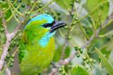 (Psilopogon pulcherrimus)*Golden-naped Barbet