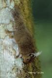 (Exilisciurus whiteheadi)  Whitehead's Pigmy Squirrel