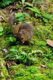 (Dremomys everetti) Bornean Mountain Ground Squirrel