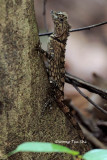 (Gonocephalus bornensis) Bornean Angle-headed Lizard ♀
