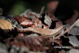 (Mabuya rudis) Black-banded Skink
