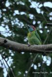 (Psilopogon australis)Blue-eared Barbet