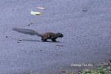 (Sundasciurus hippurus) Horse-tailed Squirrel