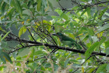 Psilopogon monticola   Mountain Barbet