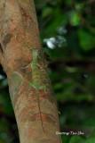 (Draco quinquefasciatus)  Five-banded Flying Lizard