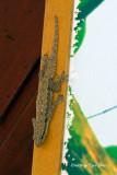 (Cosymbotus craspedotus)  Frilly Forest Gecko