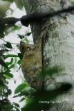 (Cynocephalus variegatus) Colugo or Flying Lemur