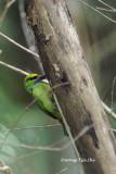 (Psilopogon henricii) Yellow-crowned Barbet
