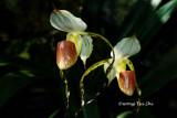 (Paphiopedilum stonei)