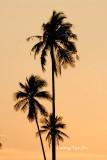 (Cocos nucifera)Coconut tree