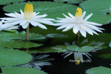 (Nymphaea pubescens)Hairy Water Lily
