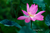 (Nelumbo nucifera)Lotus