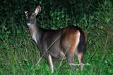 (Cervus unicolor) Sambar Deer