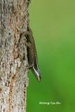(Apterygodon vittatus) Common Tree Skink