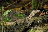 (Varanus salvator) Water Monitor