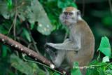 (Macaca fascicularis)Long-tailed Macaque