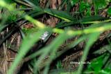 (Felis bengalensis) Leopard Cat