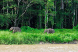 (Elephas maximus borneensis) Borneo Pygmy Elephant