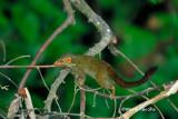 (Tupaia minor) Lesser Treeshrew