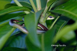 (Dendrelaphis caudolineatus) Striped Bronzeback Tree Snake