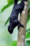 (Callosciurus prevostii pluto) Prevost's Squirrel