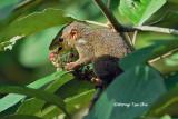 (Tupaia gracilis) Slender Treeshrew