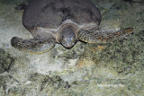 (Chelonia mydas) Green Turtle