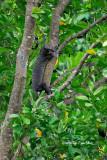 (Varanus rudicollis) Tree Monitor