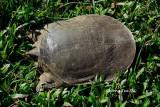 (Dogania subplana) Asian Softshell Turtle