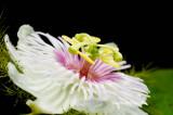 (Passiflora foetida) Passion flower
