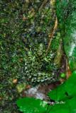 (Staurois guttatus) Black Spotted Rock Frog
