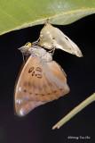 (Euthalia aconthea)   Baron - Gallery