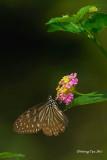 (Ideopsis vulgaris macrina) Blue Glassy Tiger