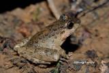 (Limnonectes finchi) Rough Gurdian Frog