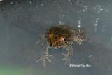 (Limnonectes laticeps) Rivulet frog