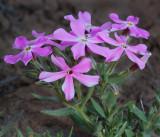 Wildflowers-Reno Area