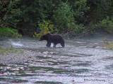 Grizzly Bear at Fish Creek near Hyder, Alaska