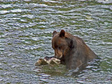 Grizzly with Salmon at Fish Creek near Hyder, Alaska