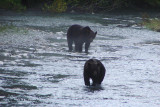 Grizzly Bears  at Fish Creek near Hyder, Alaska