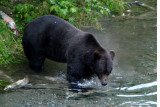 Big Grizzly at Fish Creek near Hyder, Alaska